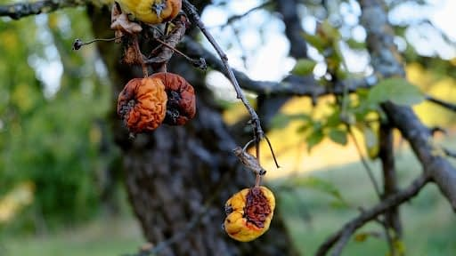 A fruit tree requiring tree disease treatment
