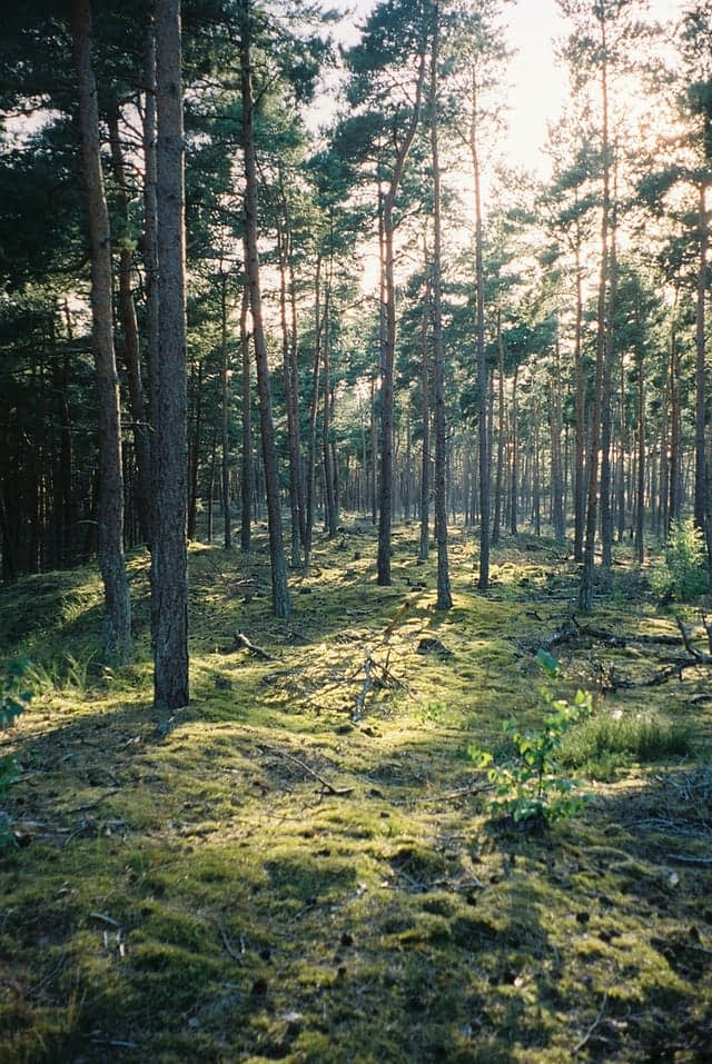 a mossy forrest of skinny trees