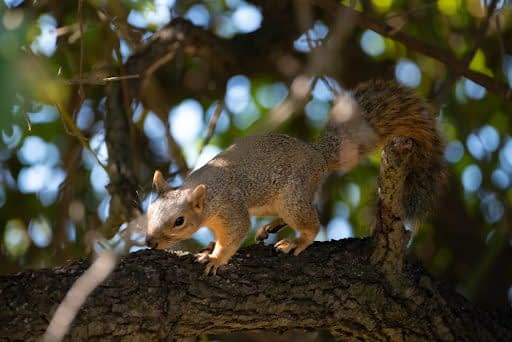 Brown squirrel on a leafy tree branch