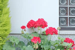 Geranium planted in a low maintenance side yard