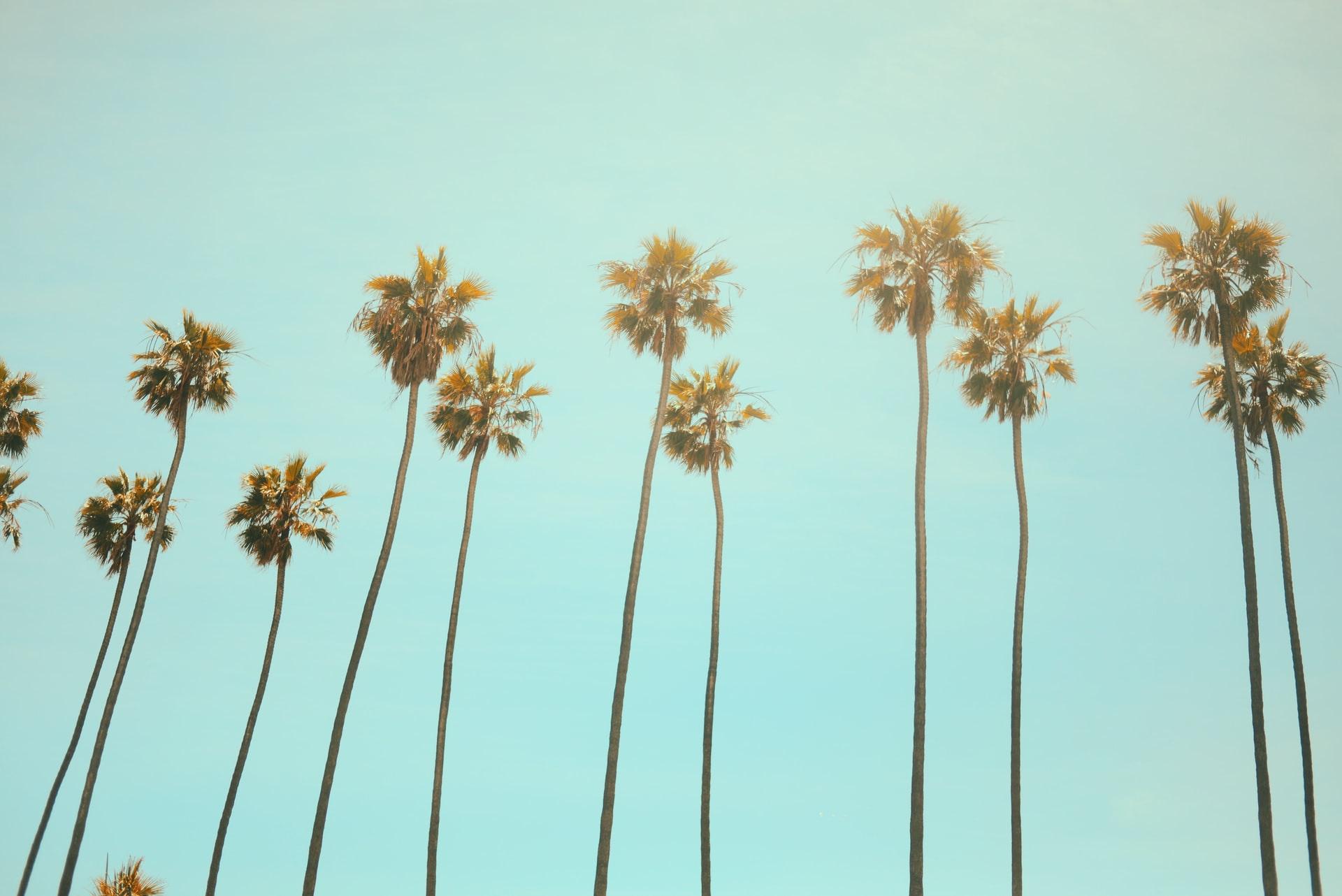 tall palm trees on a pale blue sky