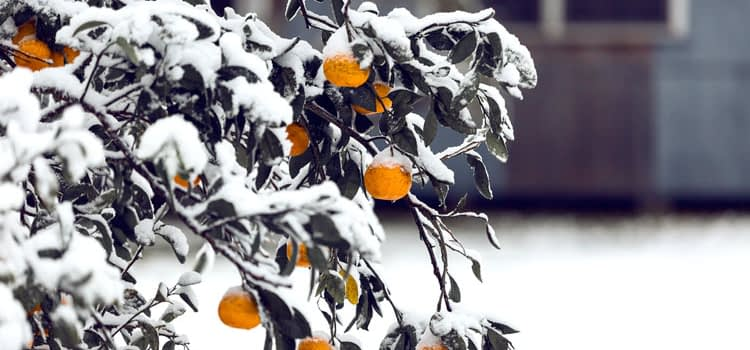 snow covered branches with oranges