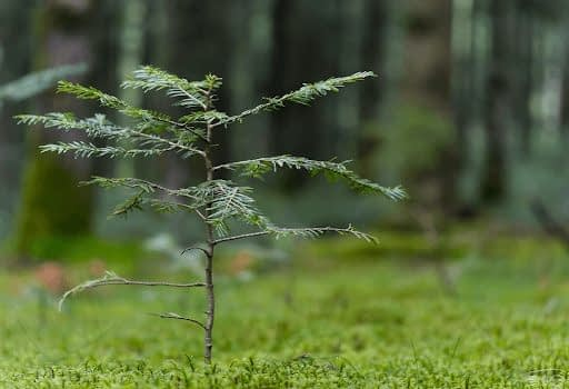 Pine sapling in a forest